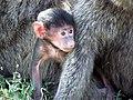 Baby baboon.jpg
