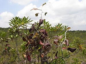 Bako National Park - ''Padang'' scrub at Bako National Park, with N. rafflesiana plant in foreground.