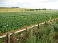 Baldock, Potato field - geograph.org.uk - 876377.jpg