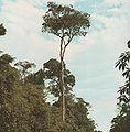 Balfourodendron-riedelianum.jpg