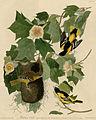 Baltimore Oriole (Audubon).jpg