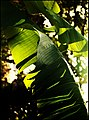 Banana Palm & Light Torquay (15583544735).jpg