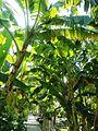 Banana tree (23430766070).jpg