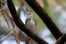 Bar-breasted Honeyeater (Ramsayornis fasciatus) from front.jpg