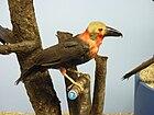 Фотография музейного скакуна коричневой птицы с голой желтой головой, тяжелым клювом и красновато-оранжевым горлом, затылком и грудью.