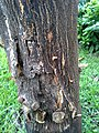 Bark peeling and stem blight or stem canker of citrus (15805881077).jpg