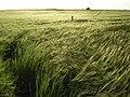 Barley, Lowbury Hill - geograph.org.uk - 477140.jpg