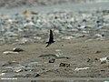 Barn Swallow (Hirundo rustica) (20658869816).jpg
