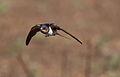 Barn swallow, Hirundo rustica, at Suikerbosrand Nature Reserve, Gauteng, South Africa (23079177420).jpg