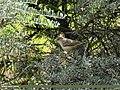 Barred Warbler (Sylvia nisoria) (34406940671).jpg
