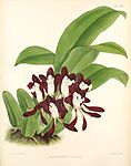 Batemannia colleyi - B. S. Williams -The Orchid Album, 1889 - pl 341.jpg