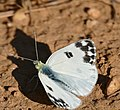 Bath White (Pontia daplidice) male (37223676925).jpg