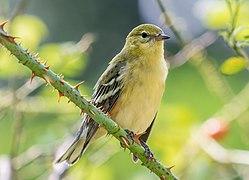 Bay-breasted warbler in Central Park (43472).jpg