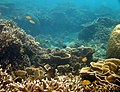 Beautiful coral reef, Batangas, Anilao - panoramio.jpg