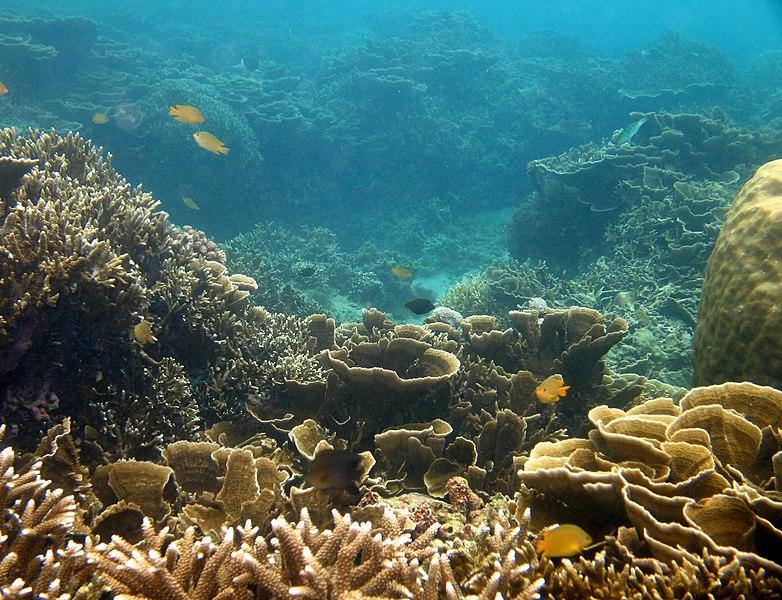 File:Beautiful coral reef, Batangas, Anilao - panoramio.jpg