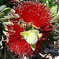 Bee on a Bottlebrush (3360788716).jpg