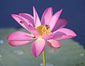Bees on Water Lotus.jpg