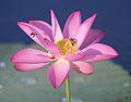 Bees on Water Lotus.jpg