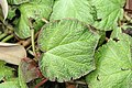 Begonia Boomer 1zz.jpg