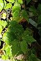 Begonia Tiny Gem 2zz.jpg