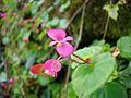 Begonia awake.jpg