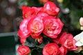 Begonia hiemalis Janny Fringed 2zz.jpg