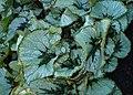 Begonia incarnata kz02.jpg
