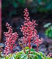 Beijzelde bloemknoppen van Pieris japonica 'Bonfire'. Locatie, Tuinreservaat Jonkervallei 02.jpg
