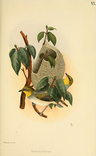 Silvereye - Image: Beitrag zur fauna Centralpolynesiens. Ornithologie der Viti , Samoa und Tonga inseln Pl 6