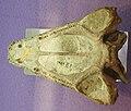 Benthosuchus korobkovi.JPG