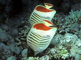 Bep chaetodon paucifasciatus.jpg