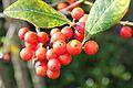 Berries (2439196514).jpg