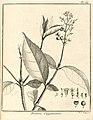 Bertiera guianensis Aublet 1775 pl 69.jpg