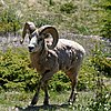 BigHorn Sheep in Alberta CA.jpg