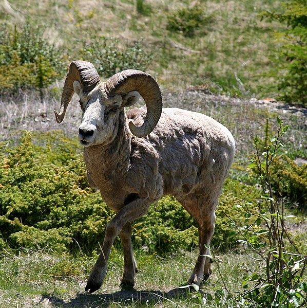 File:BigHorn Sheep in Alberta CA.jpg