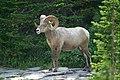 Bighorn ram (4498090982).jpg