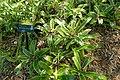 Billbergia pyramidalis - Marie Selby Botanical Gardens - Sarasota, Florida - DSC01484.jpg