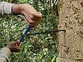 Biologist taking wood core IMG 20201127 123517.jpg