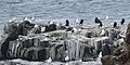 Birds - Elliston, Newfoundland 2019-08-13.jpg