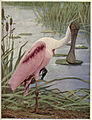Birds Illustrated Roseate Spoonbill.jpg