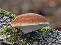 Birkenporling (Piptoporus betulinus) -20201208-RM-105124.jpg