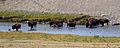 Bison River Crossing 3 (8007278715).jpg