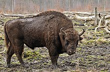 Bison bonasus (Linnaeus 1758).jpg
