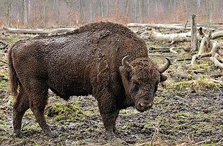 European bison Eurasian species of mammal