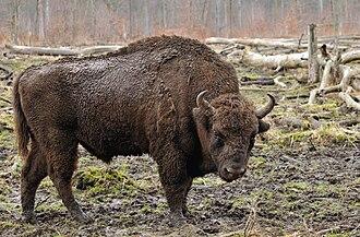 Bison - European bison    (Bison bonasus)