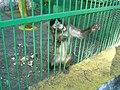 Bitola Zoo Monkey.JPG