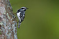 Black-and-white-warbler-1.jpg