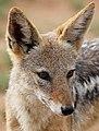 Black-backed jackal, Canis mesomelas, at Pilanesberg National Park, South Afric (17127741749).jpg
