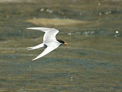 Black-fronted Tern, Greymouth, New Zealand.jpg