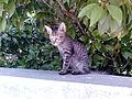 Black-gray stripes Kitten.jpg